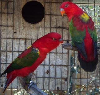Olx Birds Karachi